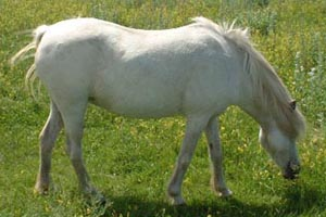 miniature horses, lucky harts whitie, famous miniature horse
